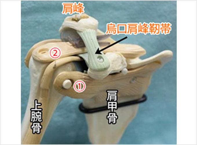 図1a.肩の中を前から見たところ