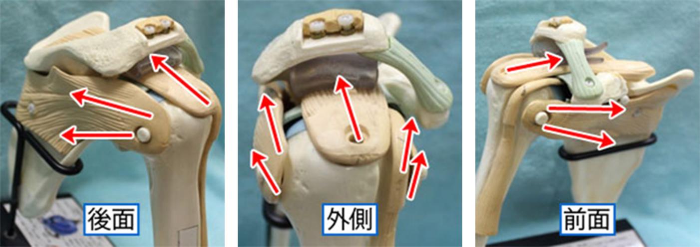 図2 腱板の筋肉が腕の骨を受け皿(関節窩(かんせつか))に引きよせる